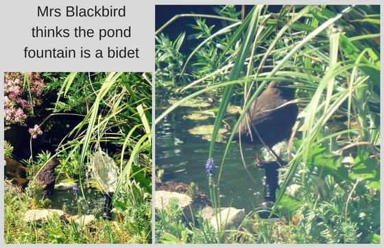Blackbird bathing in pond